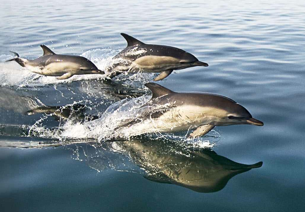 Dolphins seen near the coast of Gower